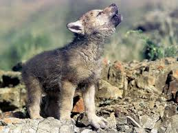 baby wolf. Interesting Wolf Wolf Baby HD Wallpapers  Inn Intended