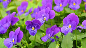 average american flower size growing pansies how to plant grow and care for pansy flowers the