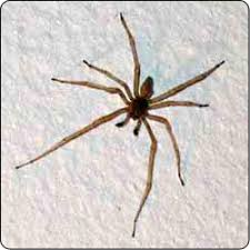 Spiders Commonly Found In Houses Susan Masta Portland