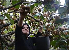Medlar Tree For Sale  Buy Bare Roots Or Containerized In Los AngelesIranian Fruit Trees