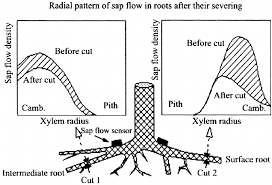 schematic diagram of a tree root system during sap ̄ow    context