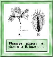 Plantago in Flora of Pakistan @ efloras.org
