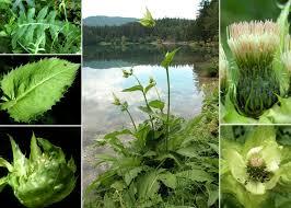 Cirsium oleraceum (L.) Scop. - Sistema informativo sulla flora delle ...