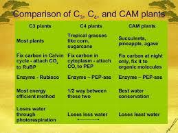C3 C4 And Cam Plants Ap Bio Ch 10 C3 C4 And Cam