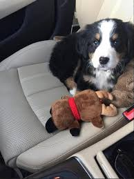 bernese mountain dog. 1. they are the cutest little co-pilots you could ever ask for. bernese mountain dog
