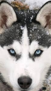 wolf iphone 5 wallpaper.  Wolf Best HD Siberian Wolf Wallpapers For IPhone 5 640x1136 In Iphone Wallpaper I