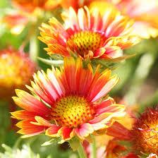 garden flowers. Blanket Flower Garden Flowers