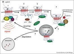 Gpcr Signaling Gpcr Signaling Along The Endocytic Pathway Sciencedirect