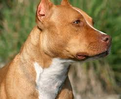 Pitbull Ear Crop Chart Ear Cropping Styles Good Pit Bulls