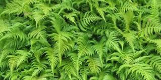 Image result for fern