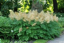 Image result for goats beard