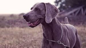 weimaraner on a leash