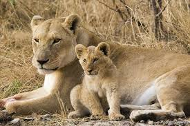 cutest lion cubs on you david dilling