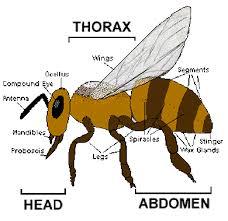 The Life Cycle Of A Honeybee Honeybees