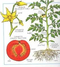 Tomato Seed Growth Chart Showing Gallery For Tomato Plant Diagram Tomato Plants