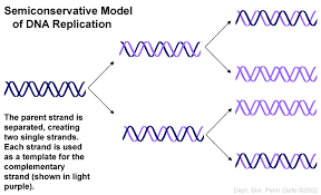 Dna Replication Definition What Does Semiconservative Mean In The Context Of Dna Socratic