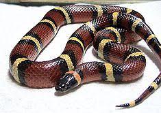 milk snake size milk snake wikipedia