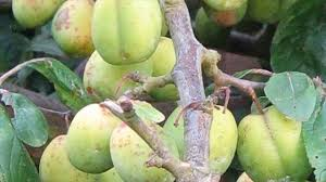 Are Multigraft Fruit Trees A Good Idea U2013 Mt Alexander Fruit GardensDifferent Fruit Trees