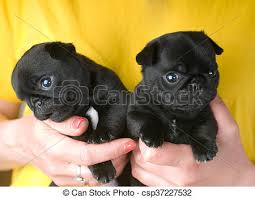 really cute pug puppies. Unique Pug Two Cute Pug Puppies  Csp37227532 Throughout Really Cute Pug Puppies