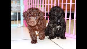 micro poodles in nc 09 2021