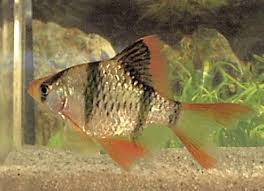 Tiger Barb Compatibility Chart Longfin Tiger Barb Puntius Tetrazona Variety Fish Guide
