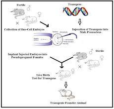 Transgenic Animals Dna Microinjection Method Of Producing Transgenic Animals