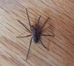 U S Poisonous Spiders Black Widow Brown Recluse Hobo
