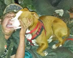 pitbull dog attacks man. Wonderful Man Pit Bull C A And R With Pitbull Dog Attacks Man O