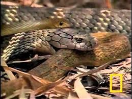 king cobra snake eating. Plain Snake In King Cobra Snake Eating T