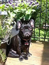 black french bulldog full grown. Modren Black European Brindle French Bulldog With Black Full Grown A