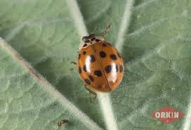 asian lady beetles how to get rid of