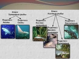 Характерные признаки костных рыб Биология Реферат доклад  Сообщение для 7 класса по биологии на тему рыбы