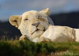 white lioness with blue eyes. Exellent Lioness White Lioness With Lioness Blue Eyes K