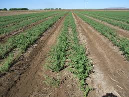 Irrigated Crops Agriculture And Food