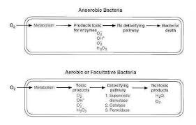 Oxygen Requirements For Pathogenic Bacteria Learn