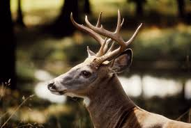 vermont fish wildlife s primary goal of deer management is to keep the deer herd le healthy and in balance with available habitat