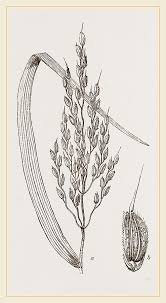 rice plant drawing. Fine Plant Panicle Drawing  Of The Riceplant By Litz Collection And Rice Plant H
