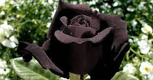 黒い 薔薇 花 言葉