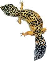 What Do Leopard Geckos Eat The Complete Leopard Gecko Diet