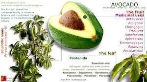 avocado benefits avocado tree fruit seed leaves and health you
