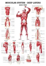 Anatomy Chart Muscular System The Muscular System Deep Layers Back Laminated Anatomy Chart