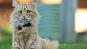 beauty cute amazing pets cat with neck belt wallpaper 1920x1080 893783 wallpaperup