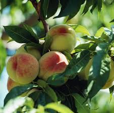 Peach Trees Planting Growing And Harvesting Peaches The