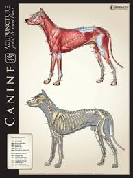 Canine Muscle Chart Canine Lateral Bone Muscle Comparison Chart