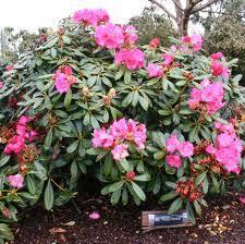 Flowering Shrub List  DammannsShrub With Pink Flowers