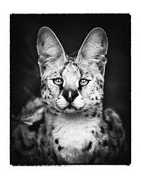 Felidae Serval Photograph by Fred Hood