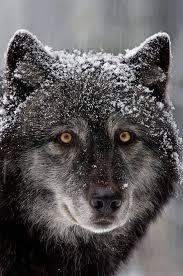 Timber Wolf   Animals, Animals wild, Animals beautiful
