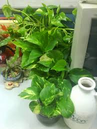 office cubicle plants. Bamboo Plant For Cubicle New Garden Chronicles Indoor Plants Fice Office