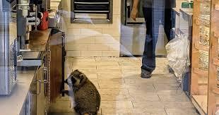 Toronto <b>raccoon</b> takes it upon himself to get job at Tim Hortons