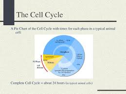 Cell Cycle Pie Chart Unit 2 Molecules And Cells Ppt Download